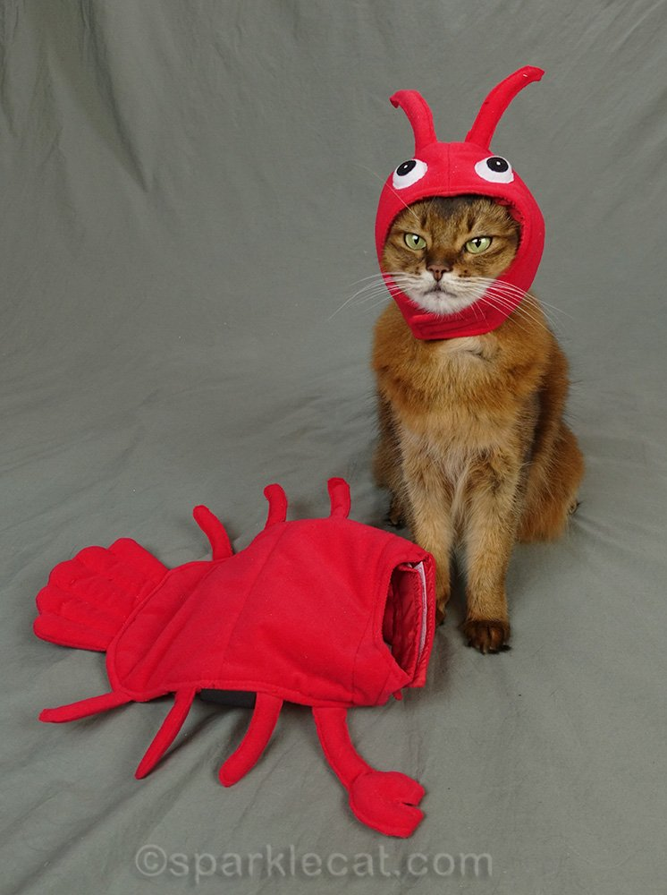 somali cat wearing head part of lobster costume