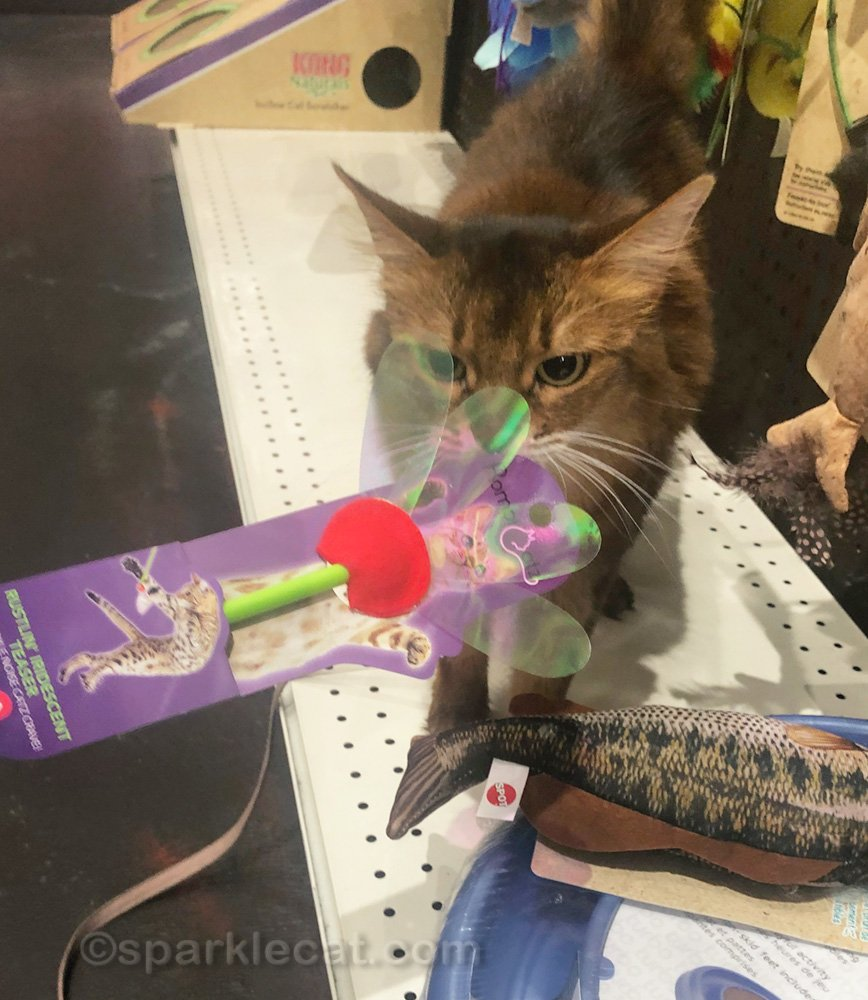 Somali cat checking out a cat toy