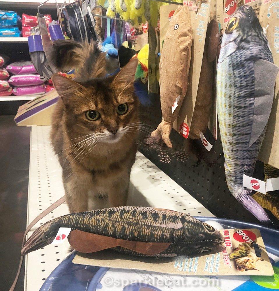 Somali cat checking out big fish catnip toy
