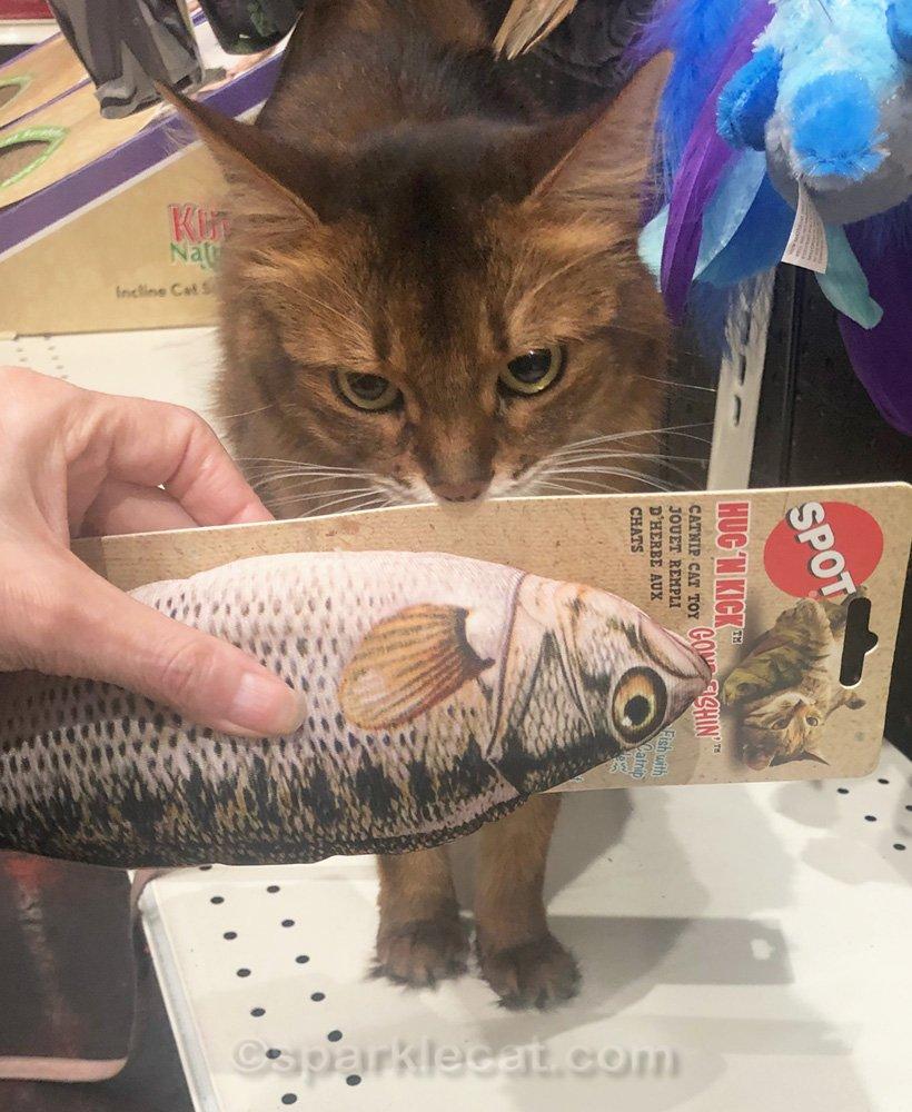 Somali cat sniffing big fish catnip toy