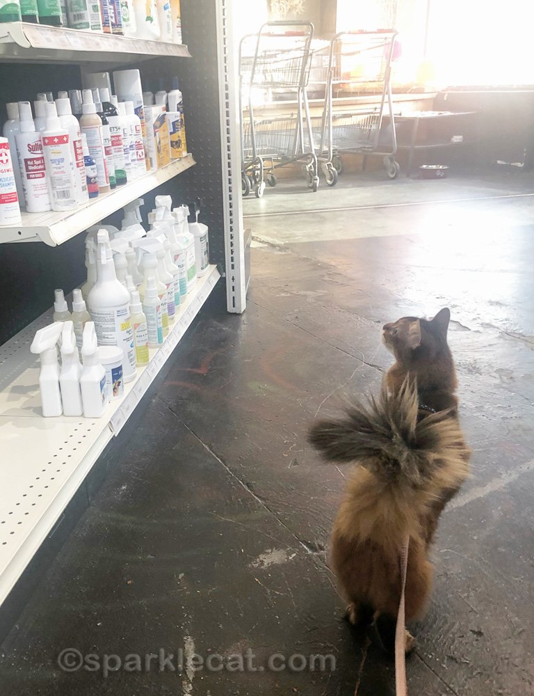 Somali cat checking out some items at the pet shop