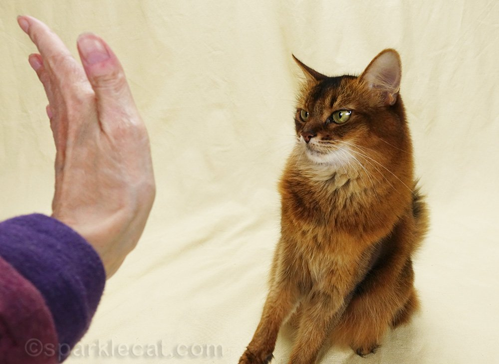 somali cat looking dubiously at high five hand