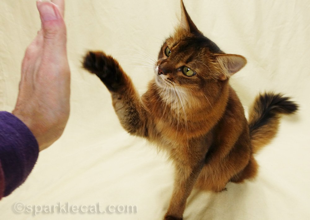 somali cat reaching over to do high five
