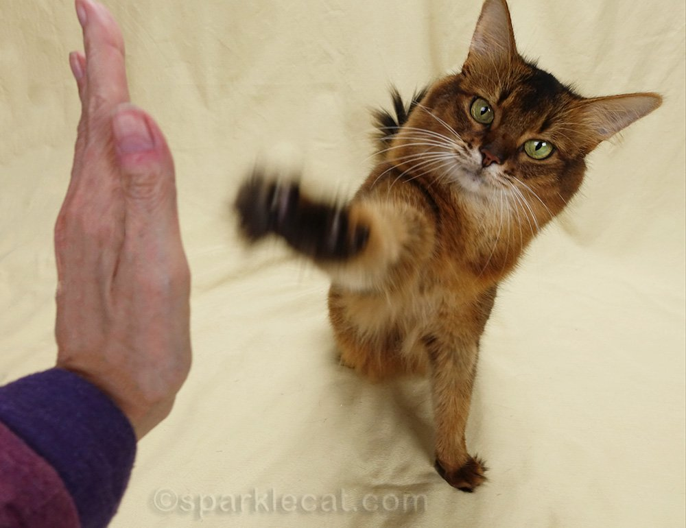 somali cat doing high five and looking at camera