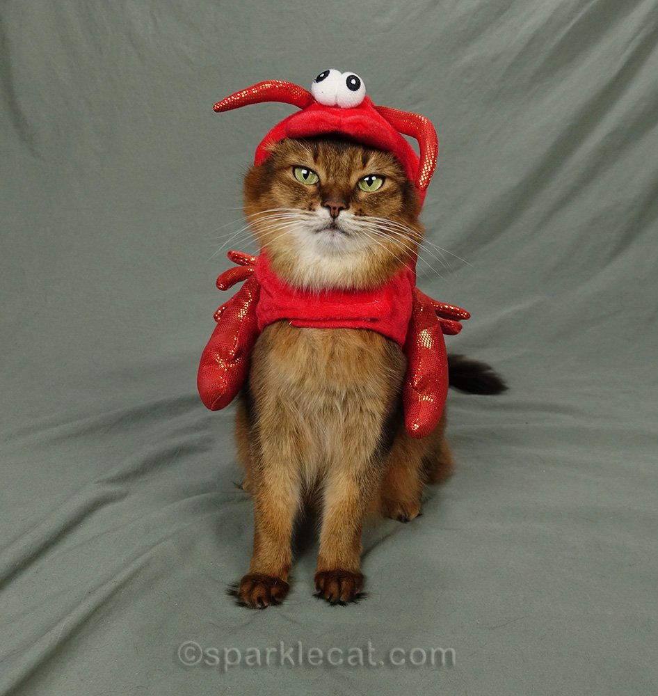 Somali cat wearing old red lobster costume