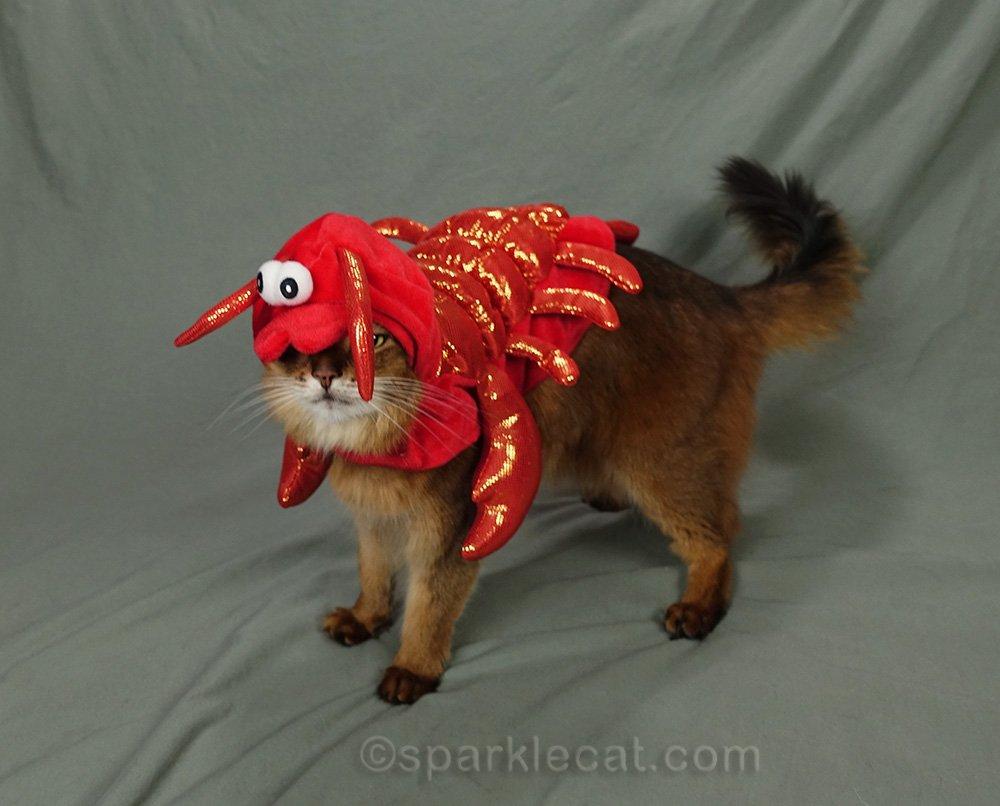 somali cat wearing ill fitting lobster costume