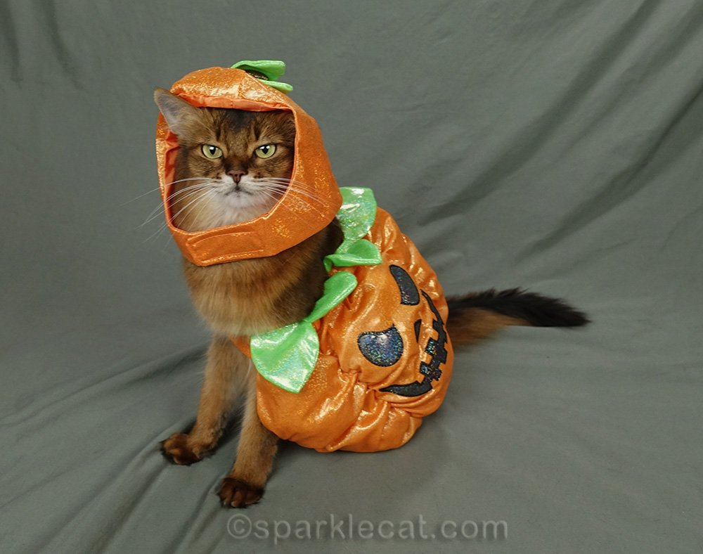 somali cat wearing too big pumpkin outfit