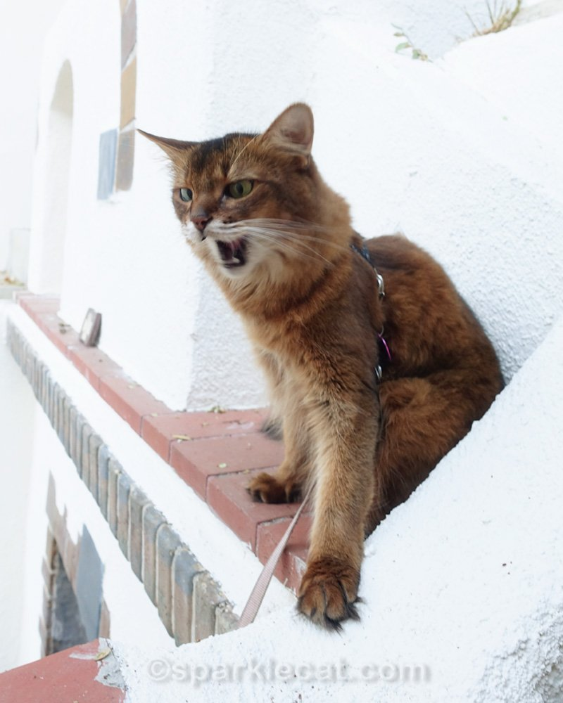 Somali cat with mouth open, on outside fireplace mantle