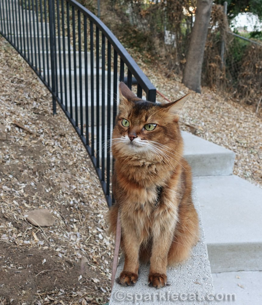 Somali cat sitting on wall by outside steps, with airplane ears