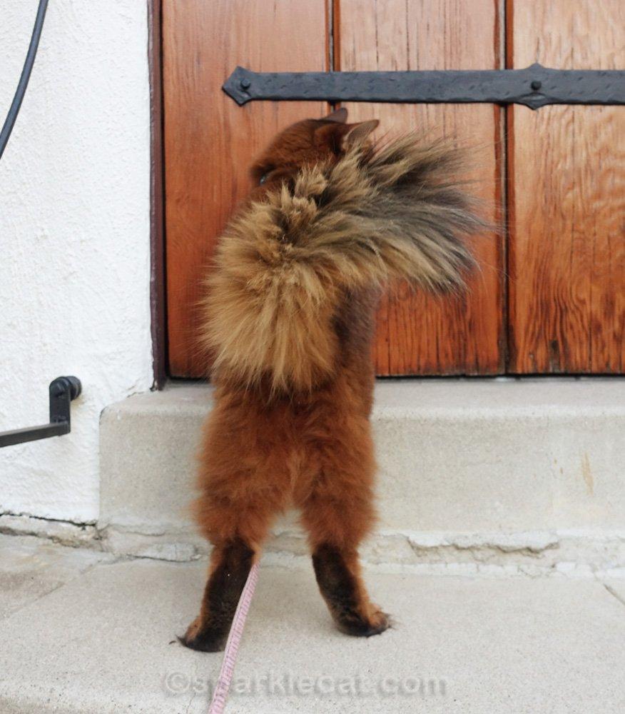 Somali cat at front door, shot from behind
