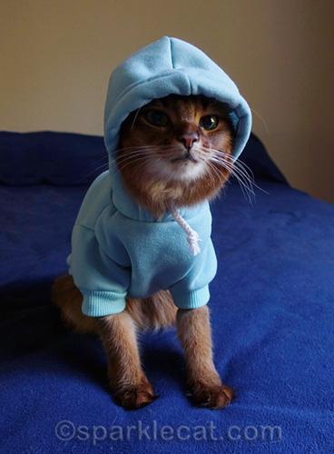somali cat looking tough in light blue hoodie
