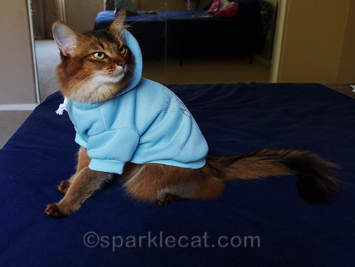 somali cat in blue hoodie, side angle
