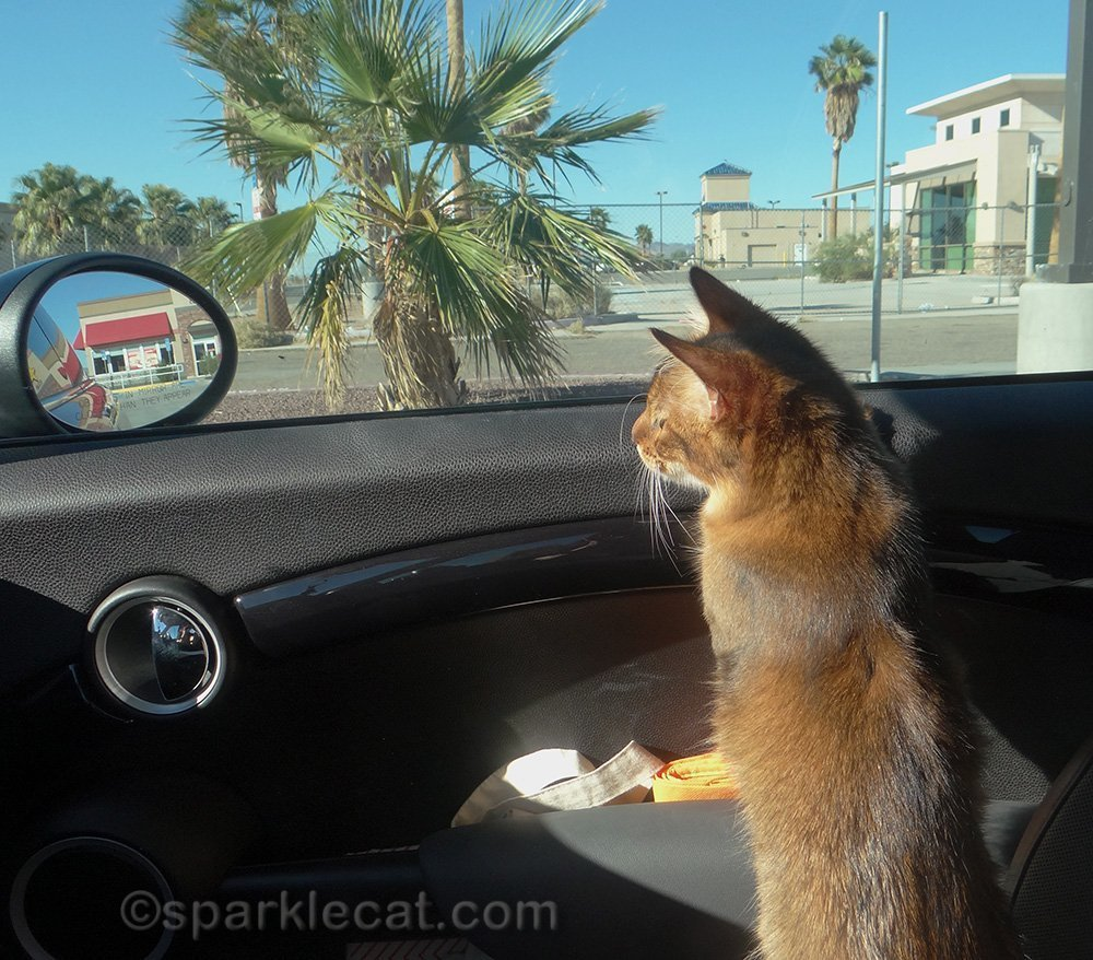 somali kitten in car on the way to las vegas