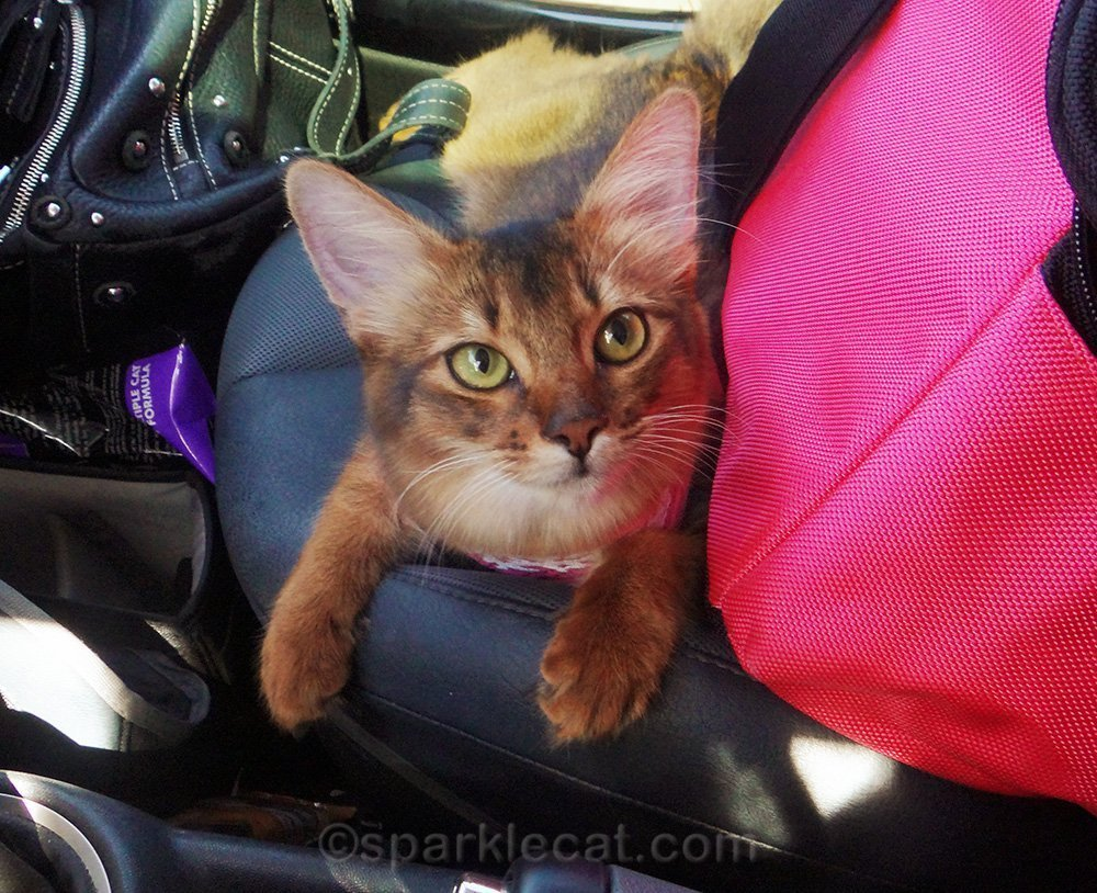 somali kitten on passenger seat of car