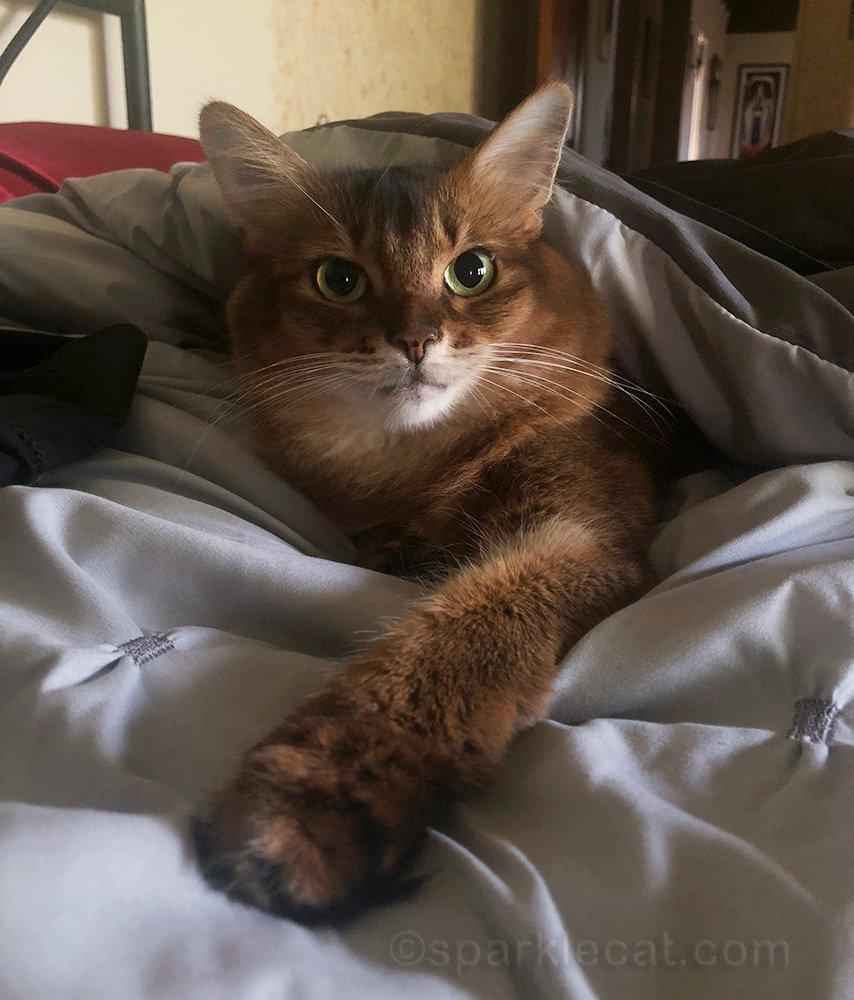 somali cat snuggled in bed comforter