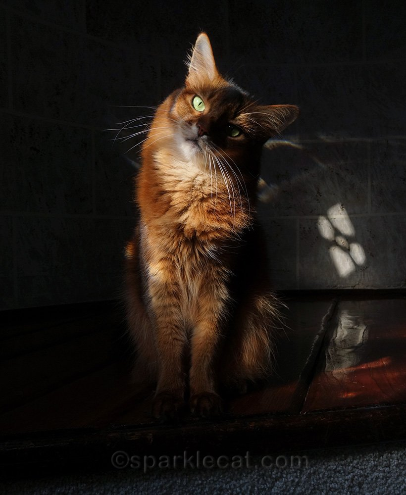 somali cat in turret with lots of shadow and light