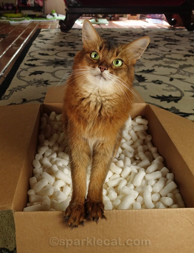 Would Summer rather be playing in a box of packing peanuts, or wearing a cat dress? This YouTube Shorts video shows you the answer.