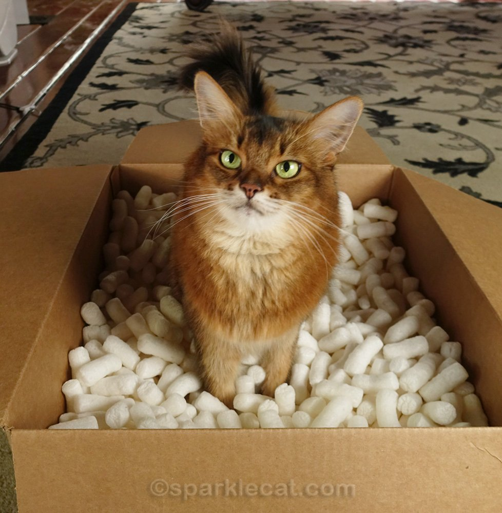 Somali cat standing in a box of packing peanuts