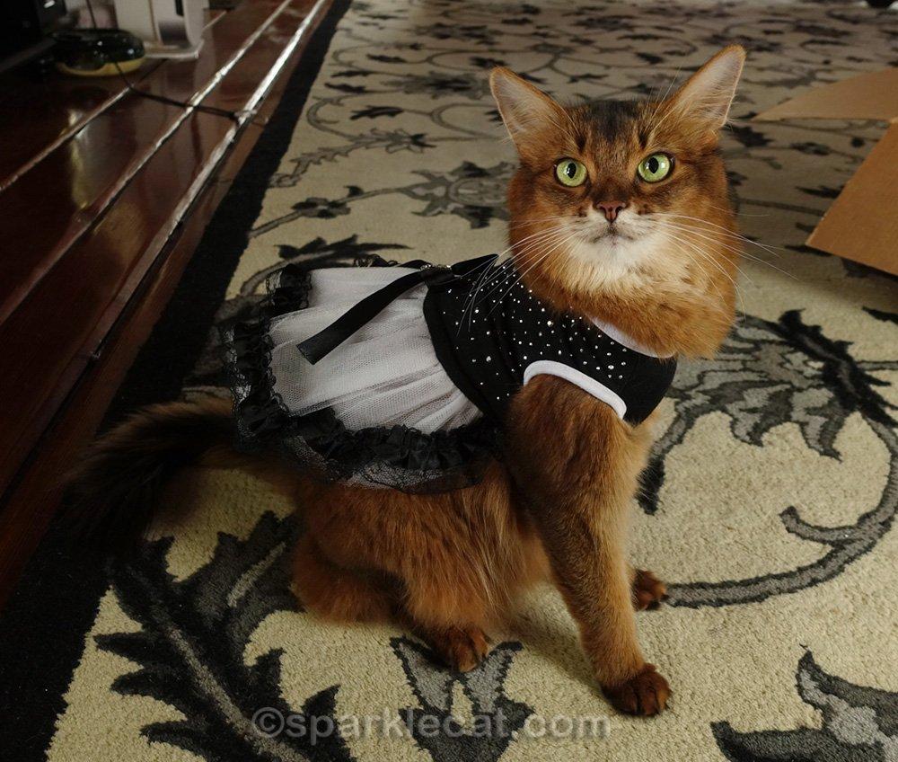Somali cat wearing a fancy party dress
