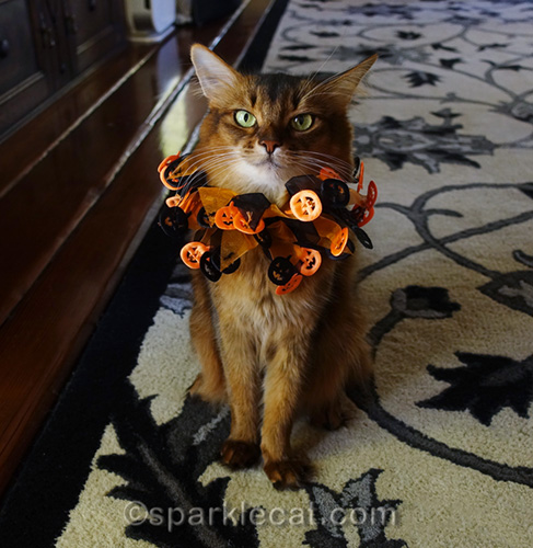 somali cat wearing cheap Halloween collar