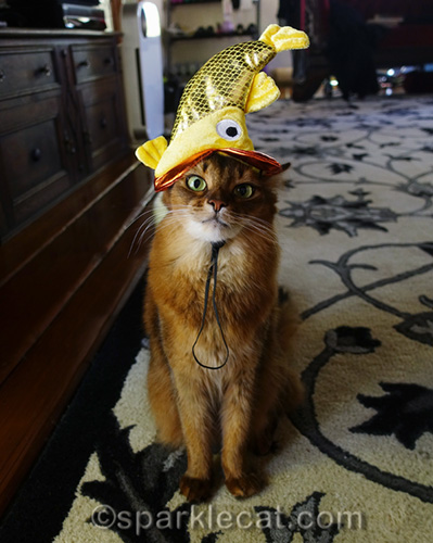 somali cat wearing stupid goldfish hat