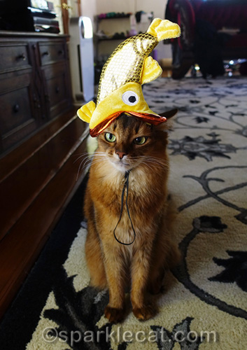 somali cat a bit annoyed by goldfish hat