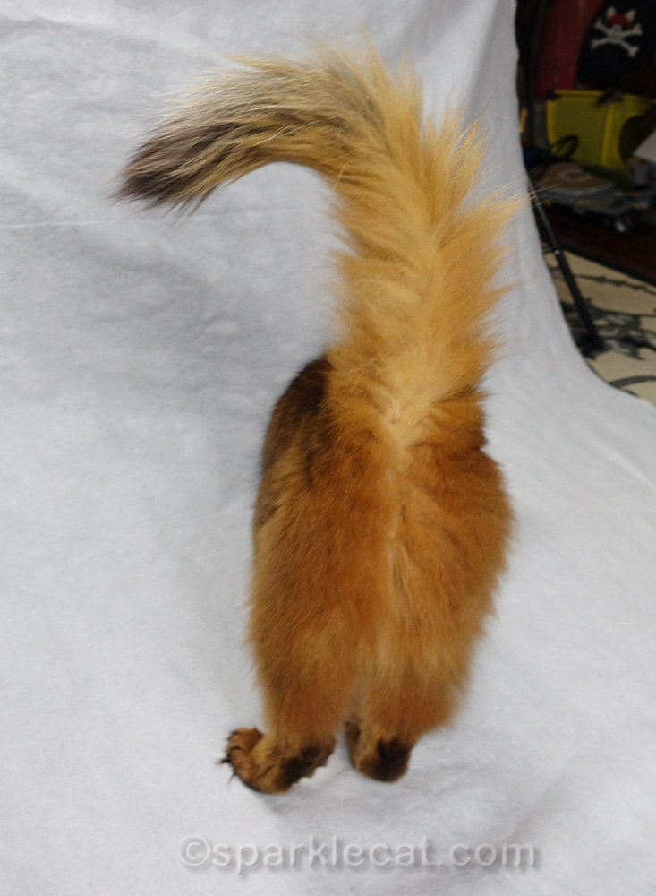 Back end of somali cat during photo shoot