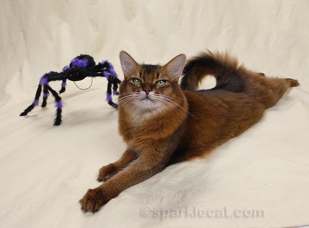 Somali cat on set with Halloween spider in background