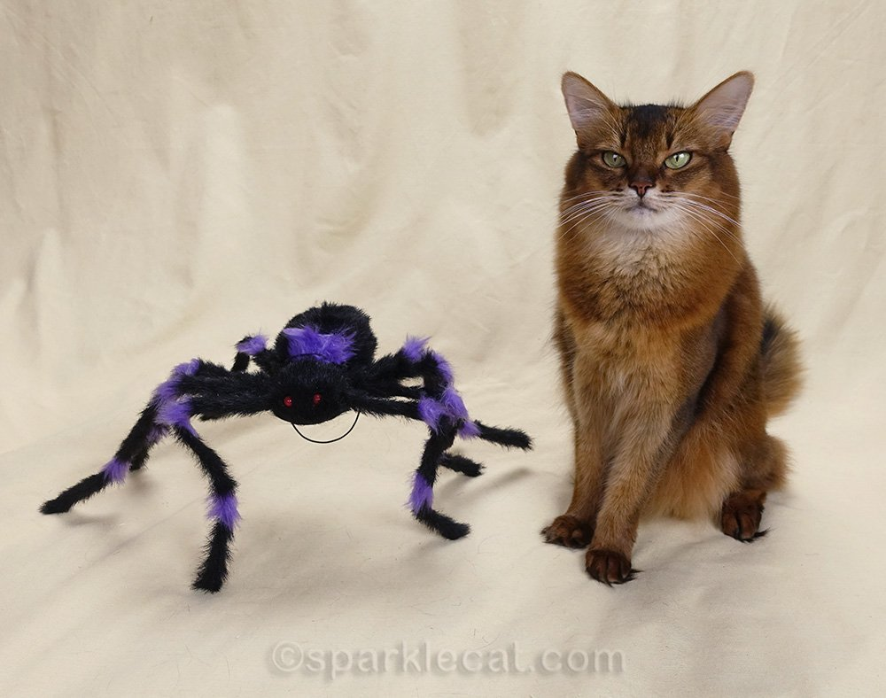 somali cat posing with spider