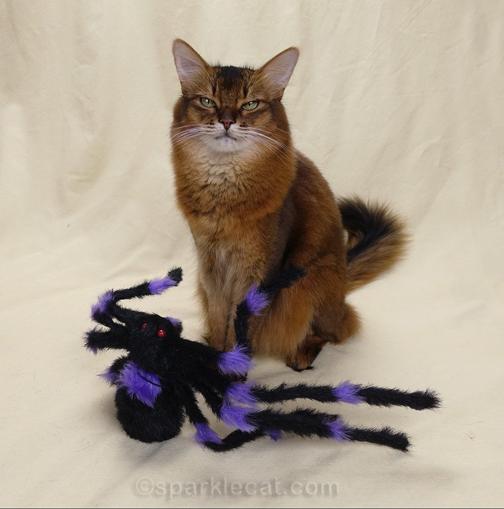 somali cat bored with spider