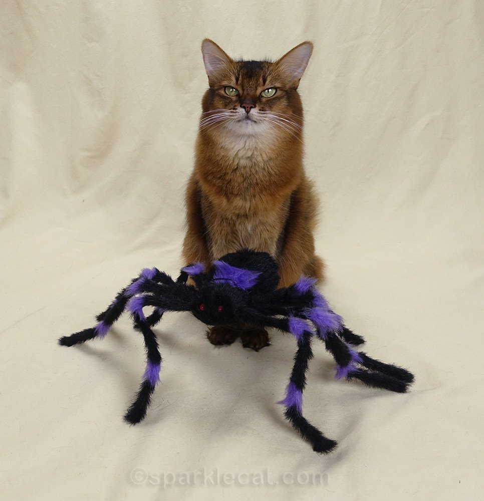 somali cat sitting behind dumb halloween spider