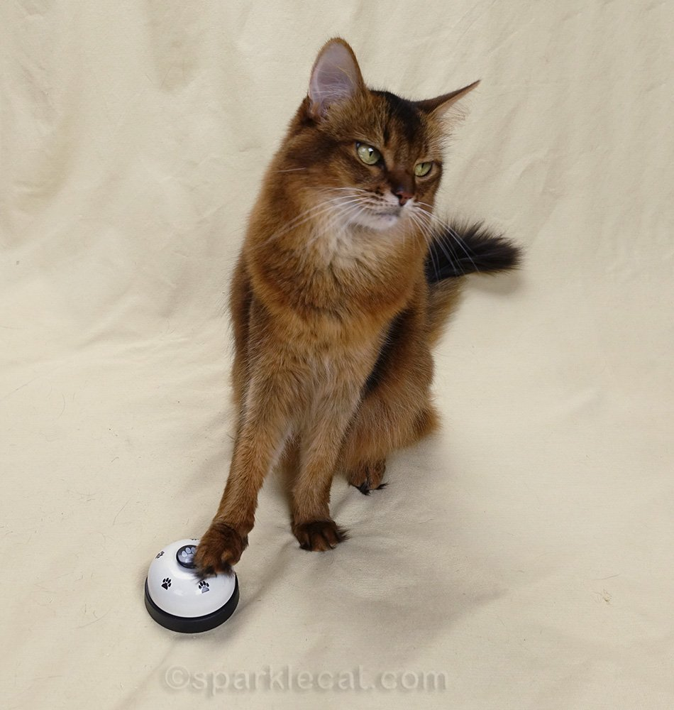 somali cat ringing bell