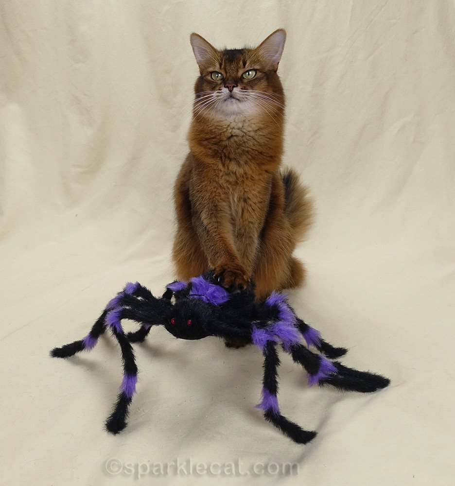 somali cat with paw on spider