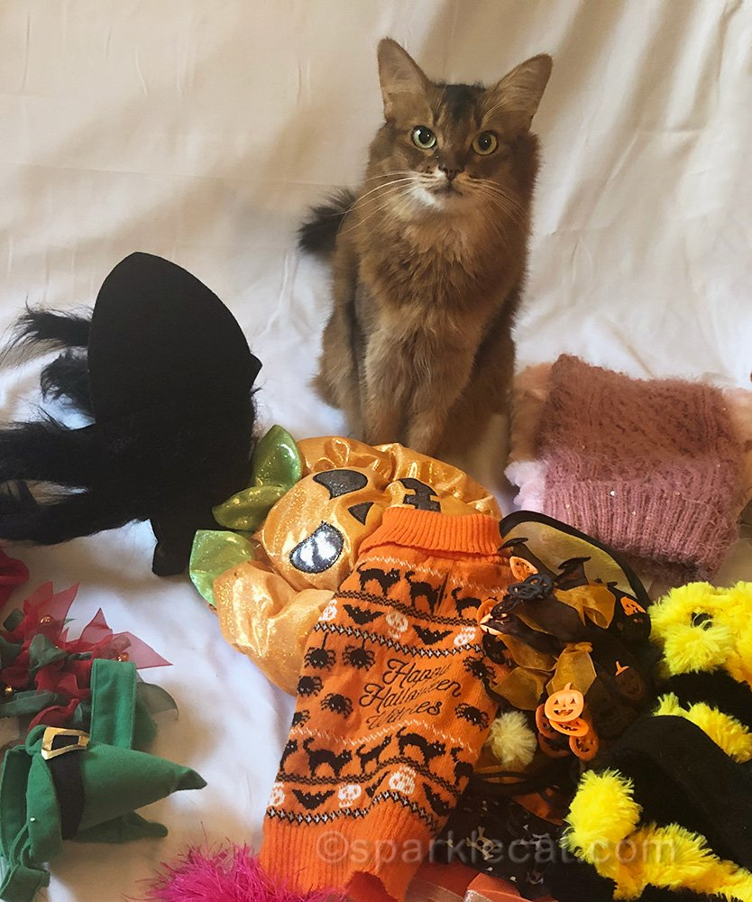 Somali cat with Halloween outfits organized