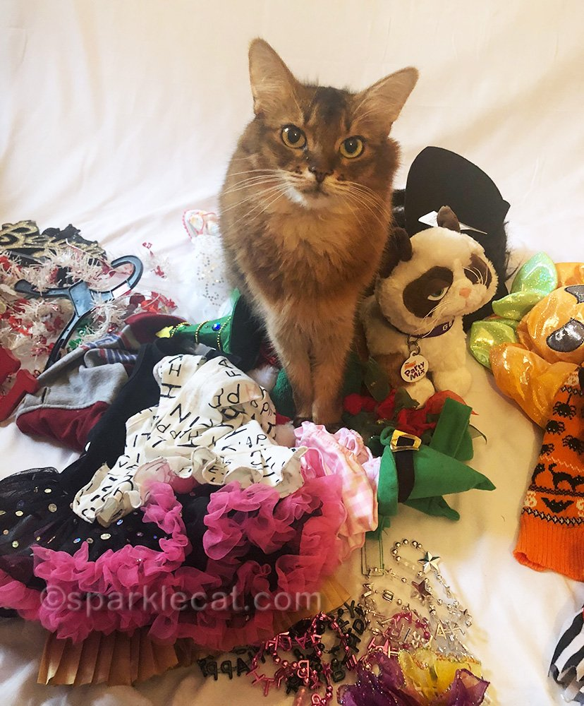 somali cat with nice outfits organized