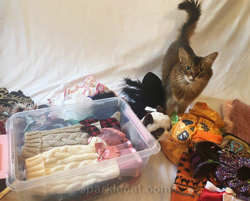 somali cat thinks studio is still a disaster