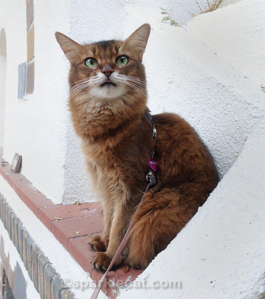 Somali cat on fireplace mantel, with tiny tongue