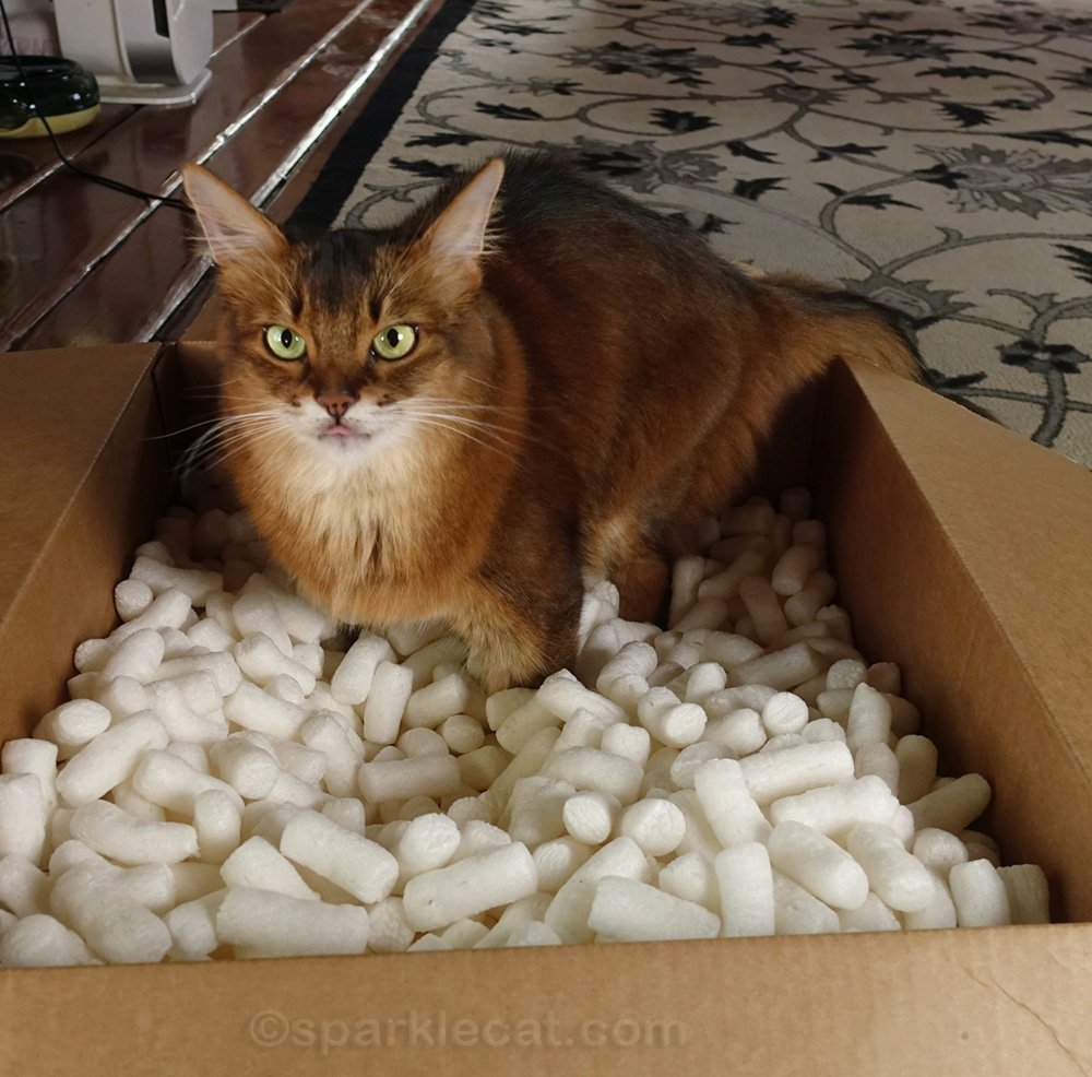 somali cat in a box of packing peanuts