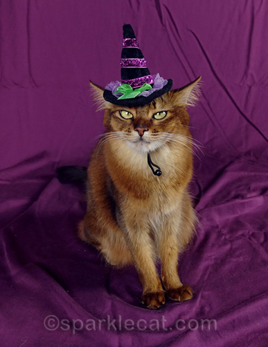 somali cat in witch hat