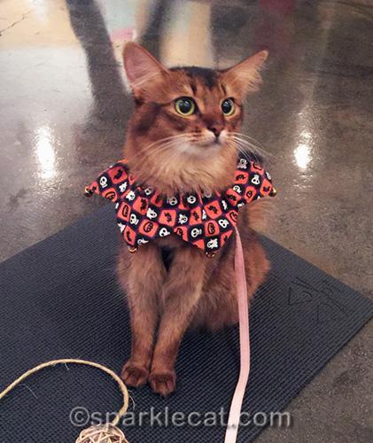 somali cat in simple Halloween clown collar