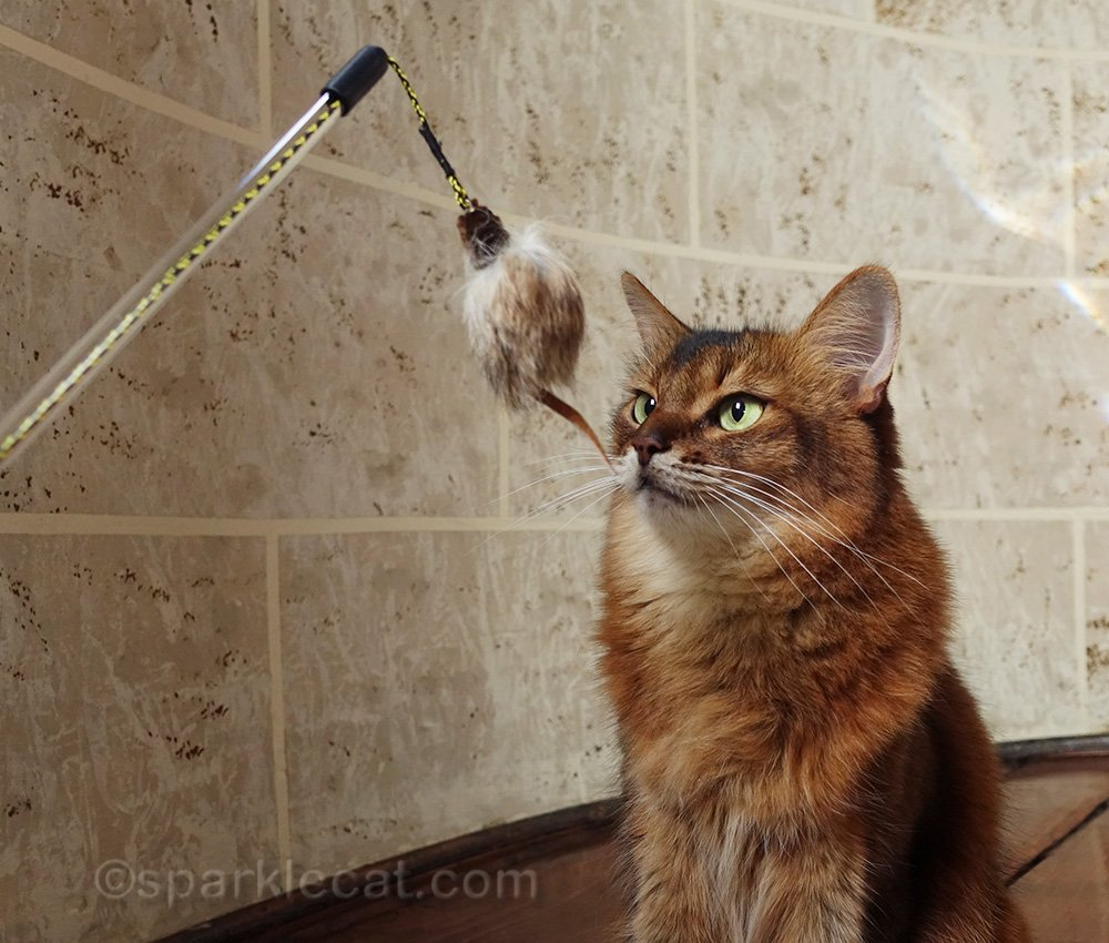 somali cat staring at RompiCatz Adjustable String Wand with Mouse toy