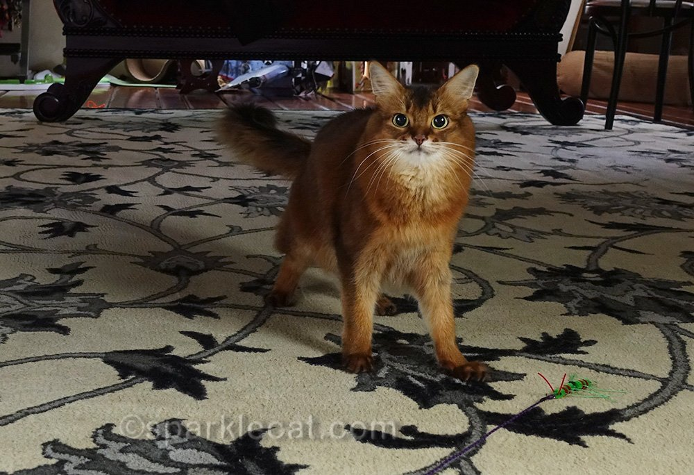 somali cat playing with RompiCatz Cattipeed