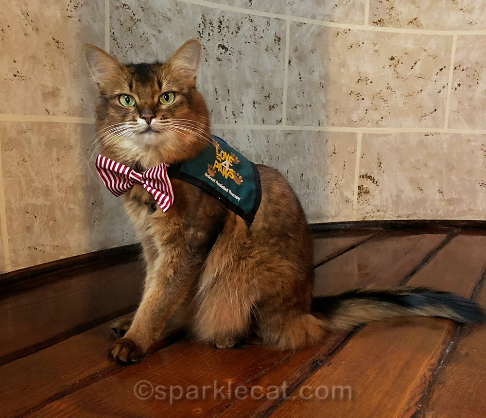 somali cat in therapy cat vest and candy striper tie