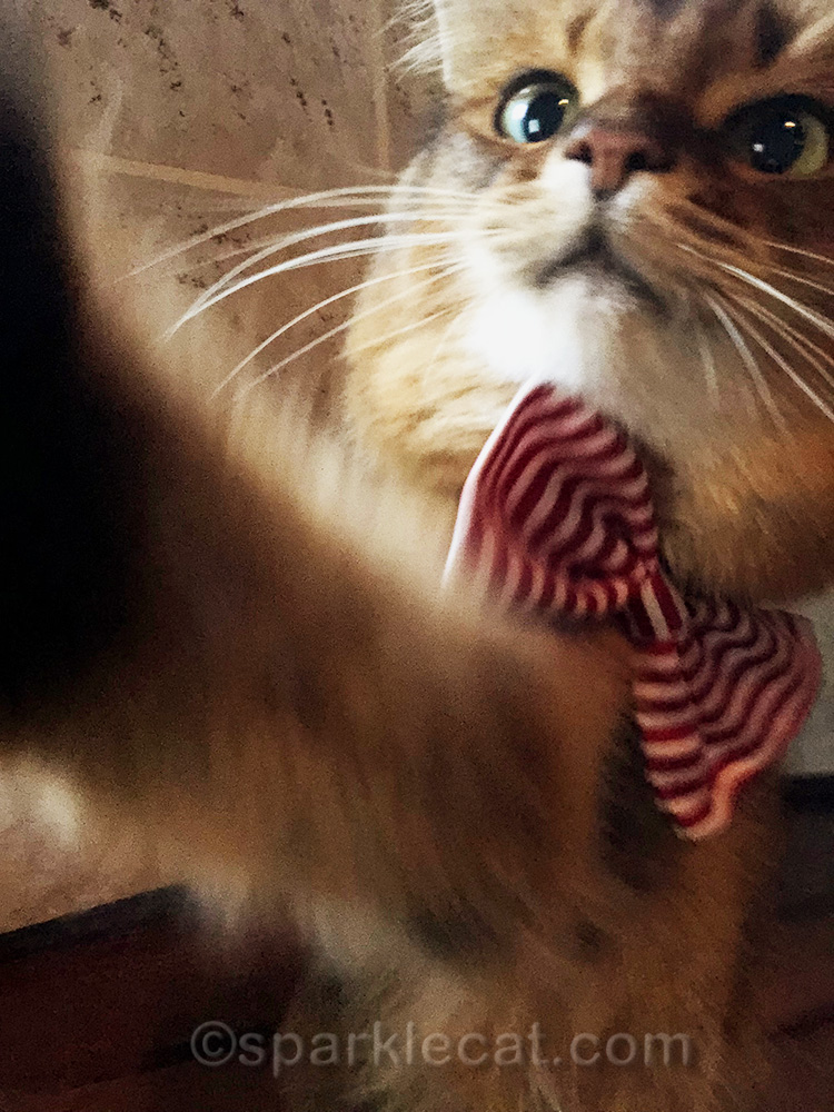 therapy cat in bow tie reaching for iPhone for selfie