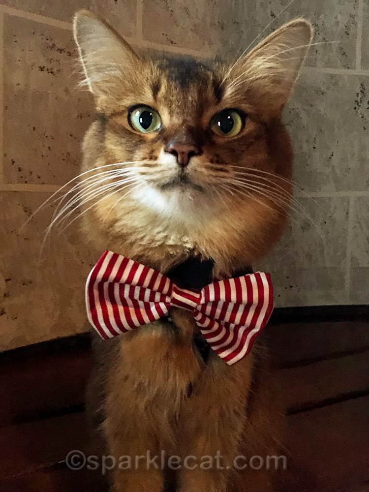 therapy cat selfie with candy striper bow tie