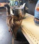 Somali cat arriving at pet shop