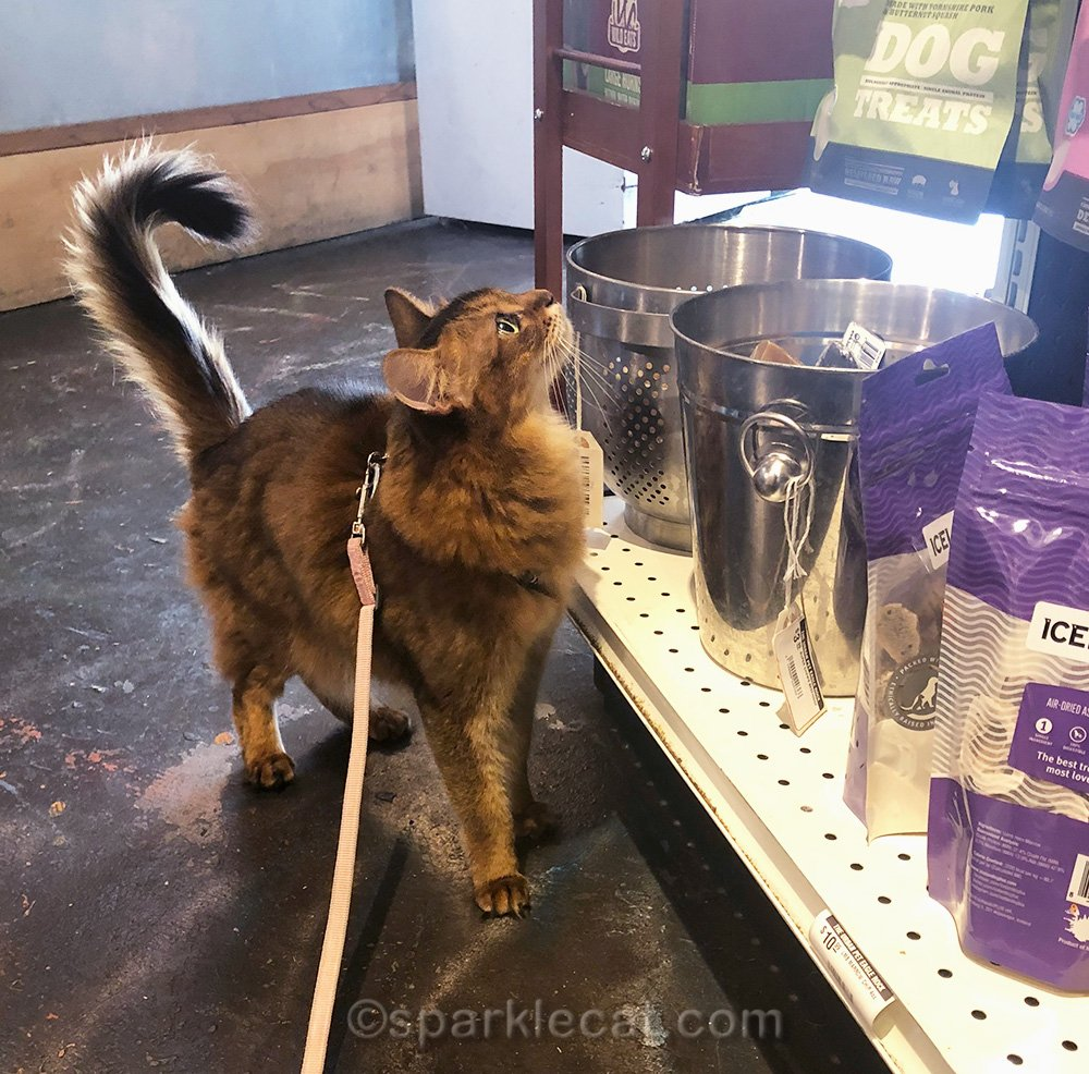 Somali cat examining the dog section of pet shop