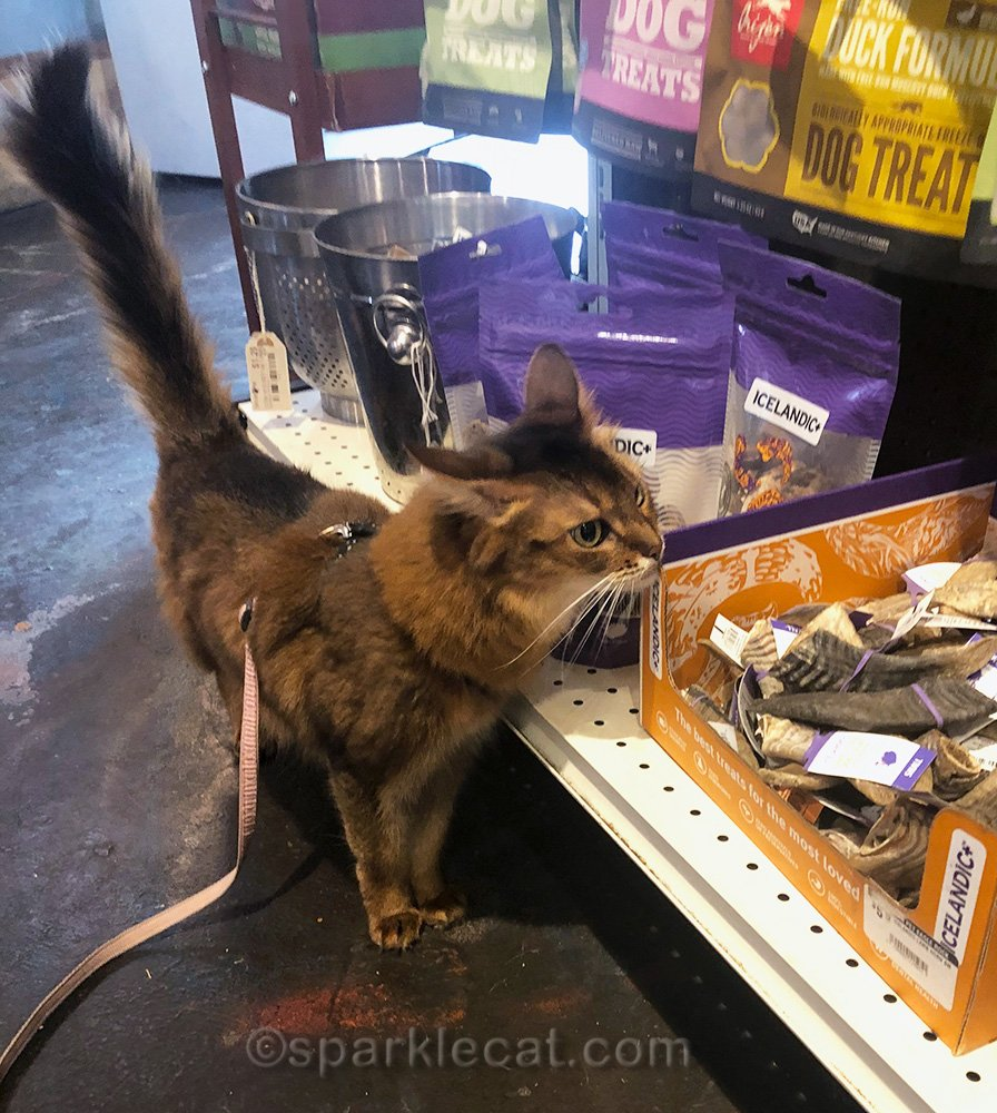 Somali cat examining things in dog section of pet shop