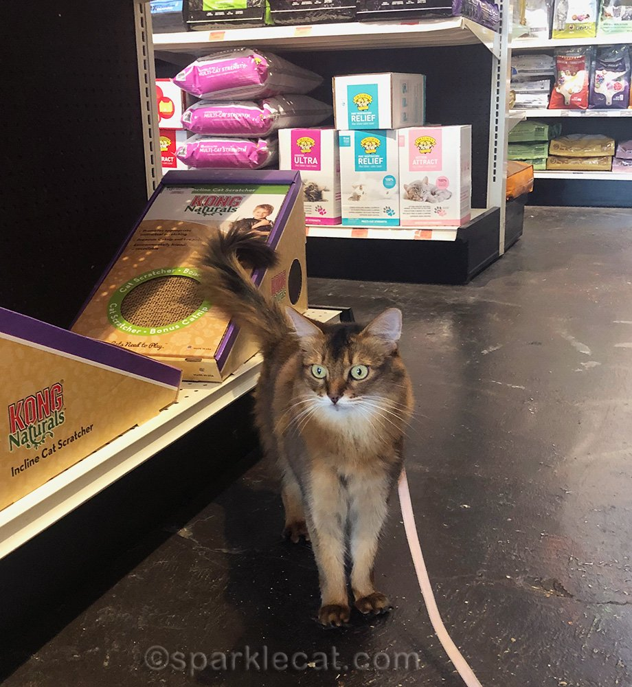 somali cat in cat section of pet shop