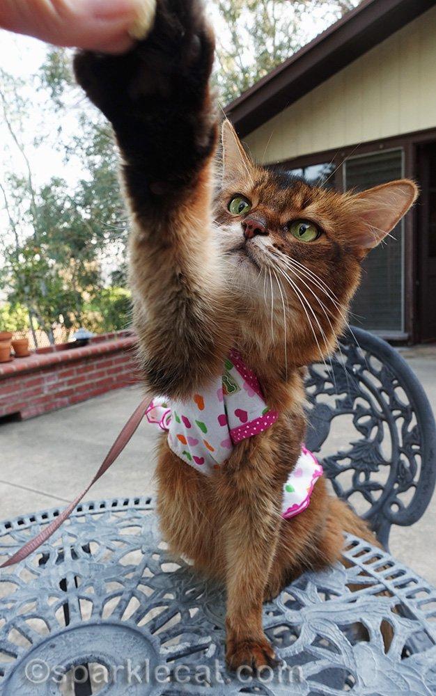 somali cat reaching for treats